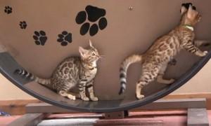 고양이 전용 '런닝머신'이 나왔다