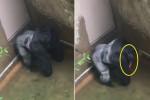 총에 맞아 죽은 고릴라는 끝까지 아이를 보호했다