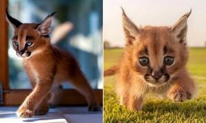 귀염 외모 속 반전 성격 가진 고양이 '카라칼' (사진)
