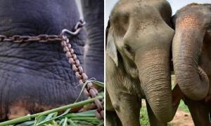 45년 동안 '쇠사슬'에 묶여있던 코끼리가 새 친구를 만났다