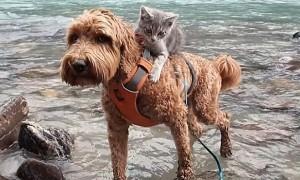 엄마 강아지는 아기 고양이를 업고 매일 등산을 다닌다 (사진)