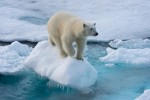 '빙하 감소'로 2050년까지 북극곰 개체수 '30%' 감소