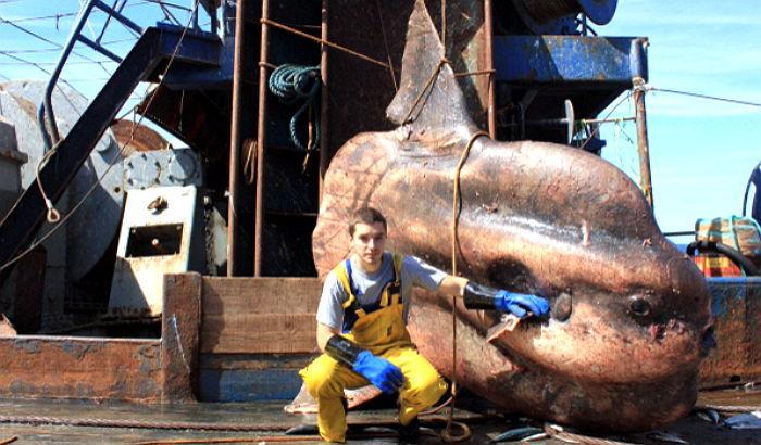 Картинки по запросу рыба гоюлин