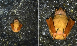 제주 만장굴·김녕굴서 멸종위기종 '황금박쥐' 발견