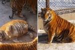 동물원서 밥 많이 먹고 뚱뚱해진 식탐 최고 '비만' 호랑이