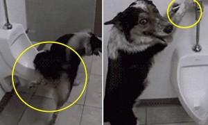 정확히 소변기 조준(?)하고 물 내리는 '개매너' 강아지 (영상)
