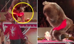 조련사 채찍질 두려워 공연 중 '소변' 보는 서커스 곰 (영상)