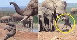 엄마 없는 사이 힘없는 아기 코끼리 '집단 폭행'한 어른 코끼리들 (영상)