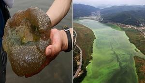 '자연의 경고'인 큰빗이끼벌레 4대강에 득실